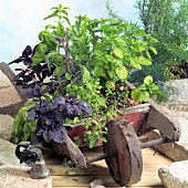 Fresh herbs planted in a small wooden wheelbarrow