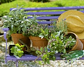 Various types of sage in pots on a bench