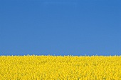 Rape field and blue sky