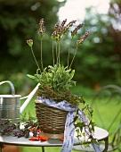 Pot of lavender on garden table