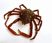 Spider crab (Maja squinado)