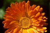 Blüte einer Ringelblume (Calendula)