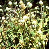 Poppy plants with green seed pods in open air