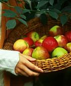 Hand holding basket of freshly picked apples