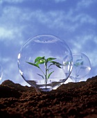 Plant protection: young plant under glass dome