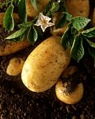 Flowering potato plant with potatoes