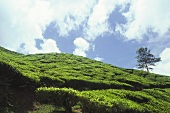 Tea plantations (Cameron Highlands, Malaysia)