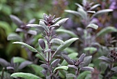 Purple sage in garden