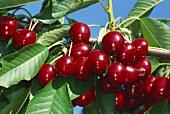 Sweet cherries on branch, Hedelfinger variety