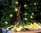 Quinces on a wooden table and on the tree