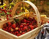 Freshly picked rose hips in chip basket (outdoor shot)