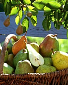 Pears in basket under pear tree, one halved