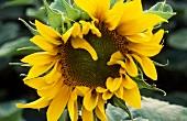 Blüte einer Sonnenblume (Nahaufnahme)