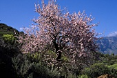 Flowering almond tree on Gran Canaria