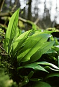 Ramsons (wild garlic) in forest (close-up)
