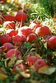 Windfalls: McIntosh apples on grass