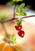 Rose hips on the branch