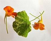 Nasturtium and leaf on a sheet of glass