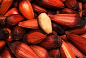 Pinhao - fruit of the Araucaria
