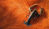 Fresh lobster on a fishing net
