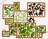 Leaves of different types of basil