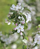 Branch of apple blossom