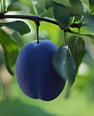 Plum on the tree
