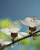 Apricot blossom on branch (close-up)