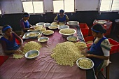 Women sorting cashew nuts (Karnataka, India)