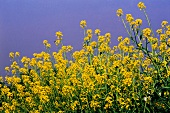 Flowering mustard field (Sinapis, India)