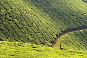 Tea-growing on mountain slopes in Munnar (Kerala State, India)
