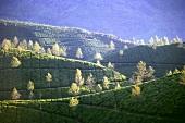 Munnar Tea Gardens (Kerala State, India)