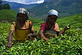 Two women picking tea (Munnar, Kerala State, India)