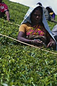 Woman picking tea in the field (Kerala State, India)