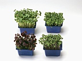Four boxes of shiso sprouts