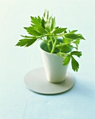 Lovage in china pot