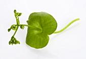 A small purslane plant