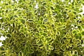 Lemon thyme (close-up)
