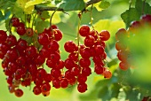 Redcurrants ('Jonkher van Tets', close-up)