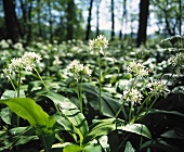 An expanse of ramsons (wild garlic) in a wood