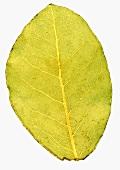 A bay leaf