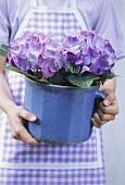Woman holding pot of purple hydrangeas