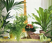 Greenery in window: ferns, Kentia, ribbon plant, Begonia