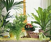 Üppiges Grün im Blumenfenster: Farne,Kentia,Bandbusch,Begonie