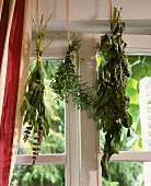 Bunches of herbs hanging at window to dry