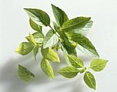 Lemon basil (Ocimum americanum)