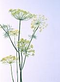 Dill (Anethum graveolens ssp. graveolens)
