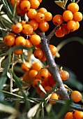 Sea buckthorn (close-up)