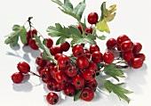 Several haws (hawthorn berries) on twig