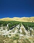 Clayvelin Vineyard, Marlborough, N. Zealand